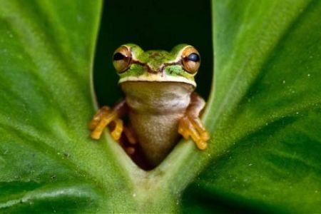 Frog peering leaf